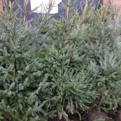 Verkoop van kerstbomen